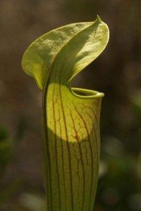 carnivorous-plant-macro-photo-363x544