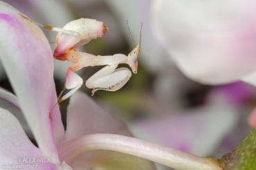 Malaysian Orchid Mantis {Hymenopus coronatus}