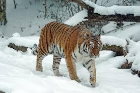 tigre siber