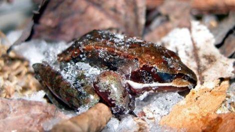 les-grenouilles-lithobates-sylvaticus-gelent-dans-la-nature_65394_w696