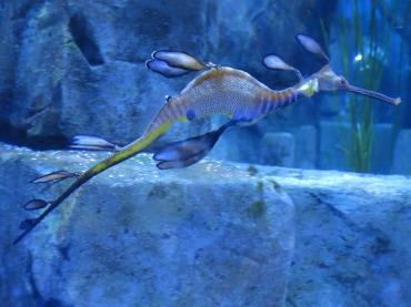dragon de mer