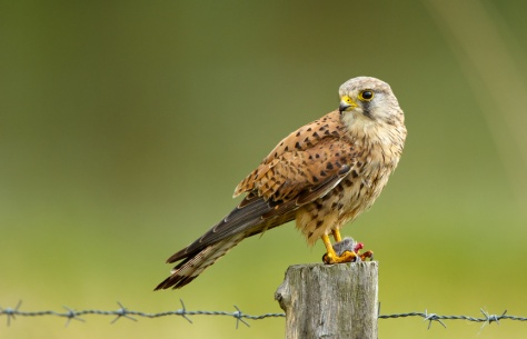 Young common Kestrel and a mouse