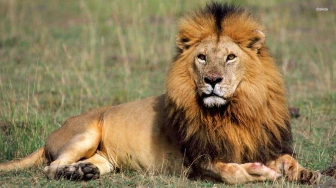 lion m