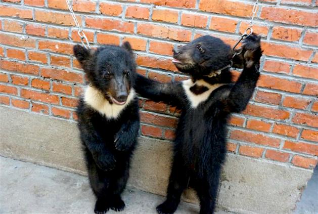 maltrétance ours